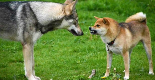 Au secours, mon chien veut me dominer ! Mon chien est