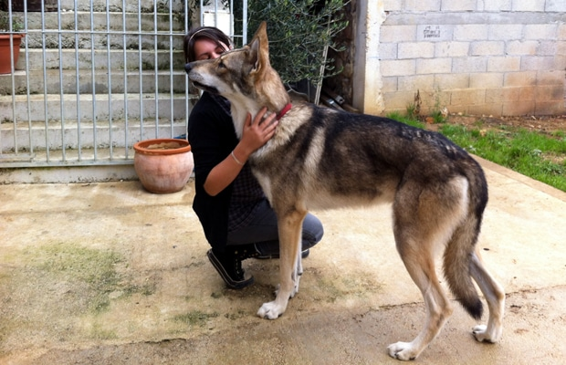 comportement_canin_saarloos_1