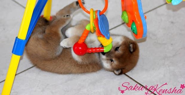 Shiba_Socialisation_Sakura_Kensha