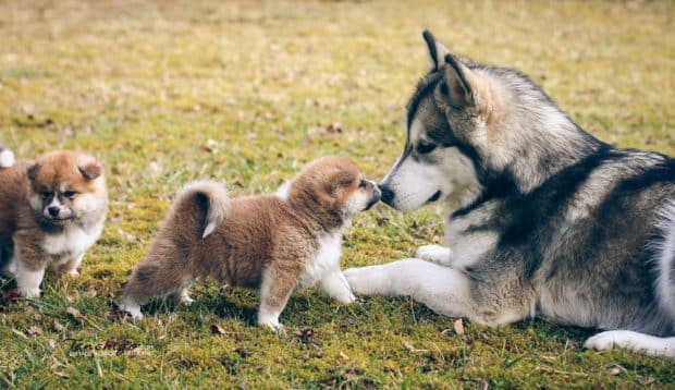 Chiots Akita Inu qui rencontrent un chien adulte Husky