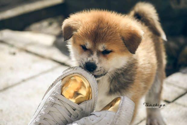 Chiot Akita qui sent une chaussure