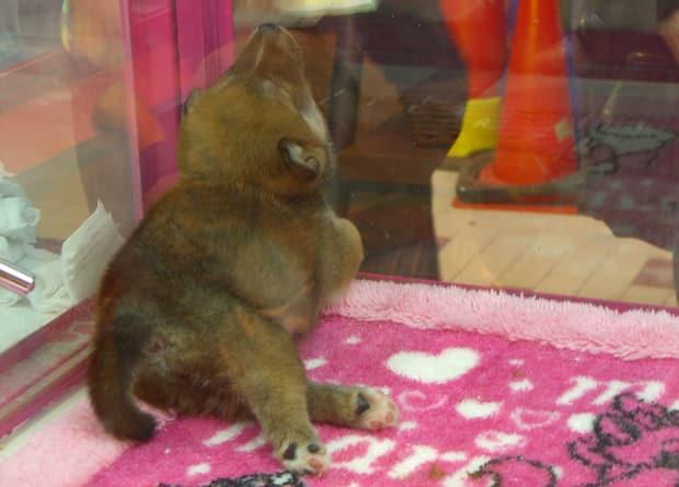 Petit Shiba Inu dans la vitrine d'une animalerie à Tokyo