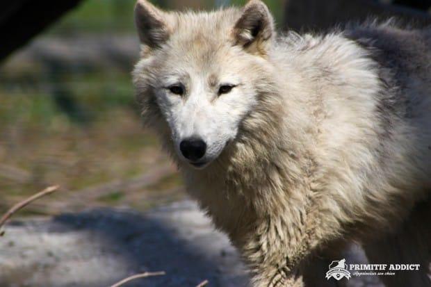 Primitif-Addict-Loup-Arctique-1
