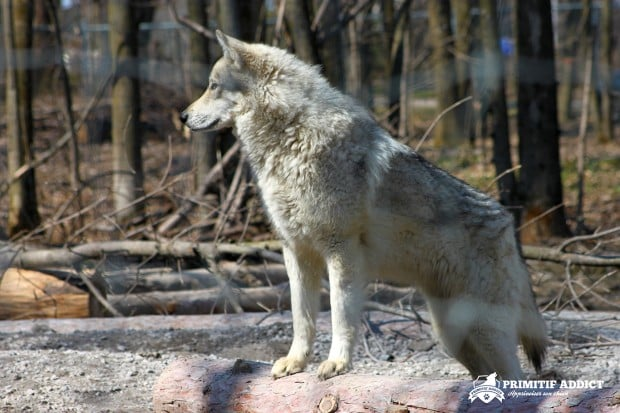 Primitif-Addict-Loup-Hybride