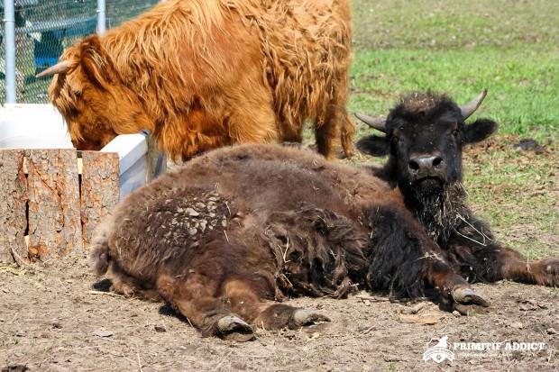 Primitif-Addict-Vache-Bison