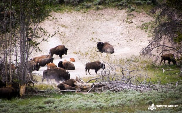 Groupe de bisons dans le parc de Yellowstone - USA