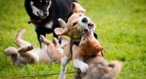 Cours_Collectifs_Ecole_Chiots_Education_Canine_Shiba_Inu_Beagle
