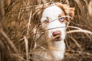 Methode_Education_Canine_Positive_Berger_Australien_2